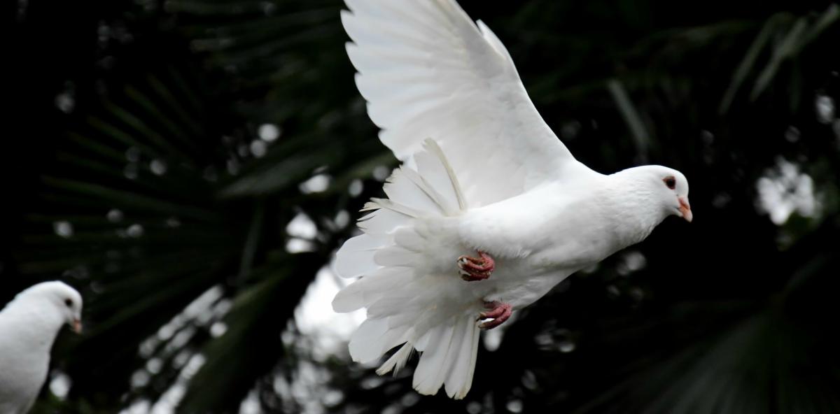 fede speranza colomba vola
